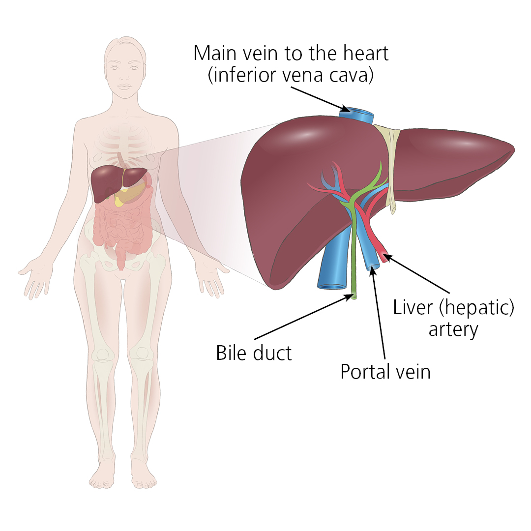 Illustration showing how a donated liver connects to a recipient via the main vein to the heart (inferior vena cava), liver artery, portal vein and bile duct