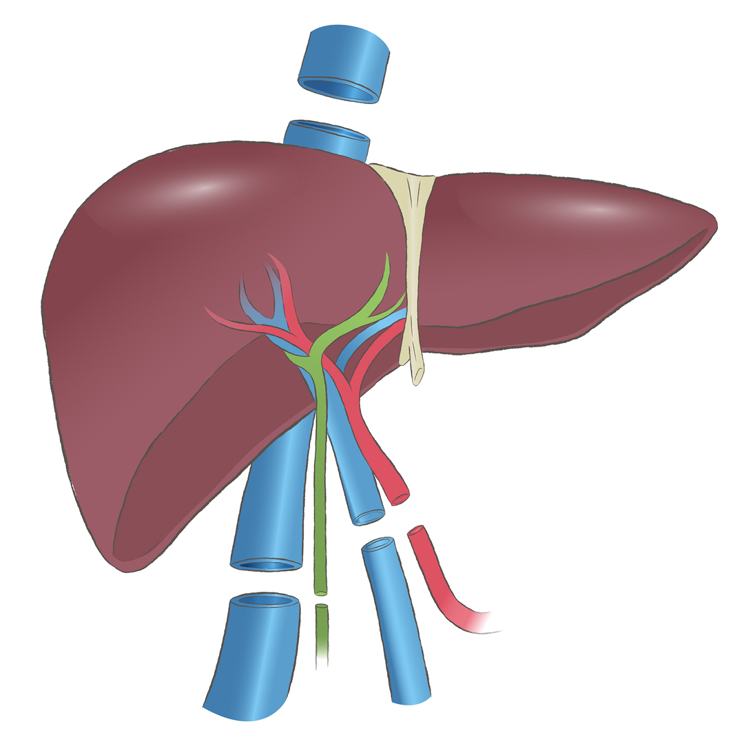 Close up illustration of a liver, showing position of arteries, veins and bile duct